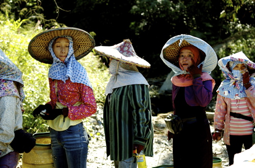 The Beautiful Ladies of Puli. Dressed for Picking Tea.