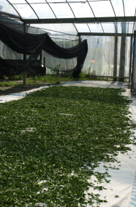 Tea leaves withering (air drying) under a mesh canopy. (They smelled like apples!)